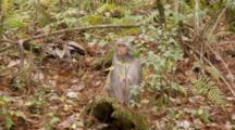 Rhesus Macaque (Macaca Mulatta) Or Rhesus Monkey On The Forest Floor, Watching And Then Walks Away Exiting Frame