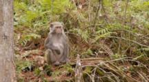 Rhesus Macaque (Macaca Mulatta) Or Rhesus Monkey On The Forest Floor, Watching And Chewing