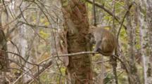 Rhesus Macaque (Macaca Mulatta) Or Rhesus Monkey On A Tree Limb Then Climbs Away