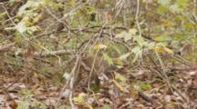 Rhesus Macaque (Macaca Mulatta) Or Rhesus Monkey Walking On Forest Floor, Camera Following Action