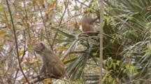 Rhesus Macaque (Macaca Mulatta) Or Rhesus Monkey On A Tree Limb, Camera Locked Off