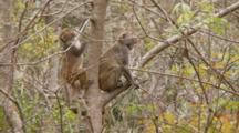 Rhesus Macaque (Macaca Mulatta) Or Rhesus Monkey On A Tree Limb, Juvenile Climbs Past,  Camera Locked Off