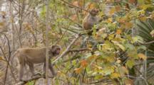 Rhesus Macaque (Macaca Mulatta) Or Rhesus Monkey On A Tree Limb, Climbs Towards Juvenile