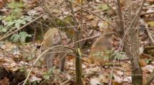 Rhesus Macaque (Macaca Mulatta) Or Rhesus Monkey On Forest Floor, Small Group