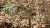 Rhesus Macaque (Macaca Mulatta) Or Rhesus Monkey On Forest Floor, Small Group, Grabs Fruit And Exits Frame