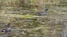 Common Moorhen (Gallinula Chloropus) Or Marsh Hens Pecking At Grasses In A Florida Swamp