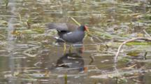 Common Moorhen (Gallinula Chloropus) Or Marsh Hens In Grasses In A Florida Swamp, One Jumps Up