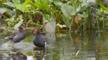 Common Moorhen (Gallinula Chloropus) Or Marsh Hens Forage In Grasses In A Florida Swamp, One Chases The Other