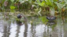 Common Moorhen (Gallinula Chloropus) Or Marsh Hens Forage And Bathe In Grasses In A Florida Swamp