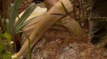 Albino Burmese Python (Python Molurus Bivittatus) On A Log In Wooded Area Of A Florida Swamp, Handler Positioning Snake