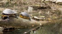 A Coastal Cooter (Pseudemys Concinna Floridana) Or Florida Cooters Resting On A Partially Submerged Log, Shot Moves Past Turtles