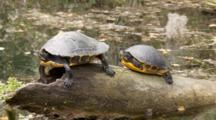 A Coastal Cooter (Pseudemys Concinna Floridana) Or Florida Cooters Resting On A Partially Submerged Log