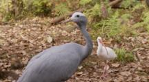 A Blue Crane (Anthropoides Paradiseus) Or Stanley Crane Also Called The Paradise Crane Stands Near A White Ibis.