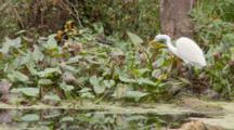 A Great Egret (Ardea Alba) Stalks In Swamp, Wide Shot