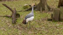 A Grey Crowned Crane (Balearica Regulorum) Walking In A Florida Swamp