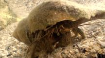 A Hermit Crab Occupies A Tulip Shell In A Tidepool
