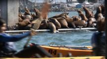 Kayakers Paddle Past A Dock That Is Completely Covered With California Sealions (Zalophus Californiacus)