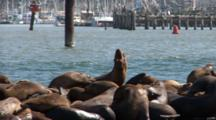California Sealions (Zalophus Californianus) On A Moving Dock With A Harbor In The Background