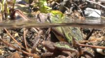 Pseudacris Sierra - Sierran Treefrog Male And Female Cling Together In A California Stream