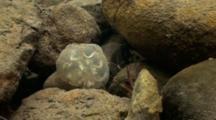 California Newt Egg Mass (Taricha Torosa) Rests On Rocky Bottom Of A California Stream