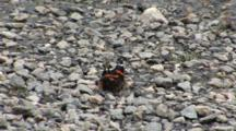 A Red Admiral Butterfly (Vanessa Atalanta) Landed On A Wet Gravel Bed, Hydrates And Rests