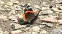 A Red Admiral Butterfly (Vanessa Atalanta) Landed On A Wet Gravel Bed, Hydrates And Rests, The Proboscis Is Clearly Visible