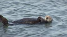 A Sea Otter (Enhydra Lutris) Swims By Camera On It's Back, Member Of A Larger Colony