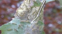 Web Worms Or Tent Caterpillars Infest A Birch Tree