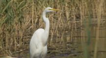 A Great Egret (Ardea Alba) Stands Watch On The Hunt For Fish In Mystic River