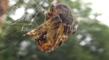 A Large Garden Spider In A Web With Prey, Close Up, Low Angle