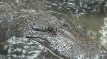 American Alligators (Alligator Mississippiensis) In An Alligator Farm