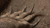 Komodo Dragon (Varanus Komodoensis) Claws And Skin Detail