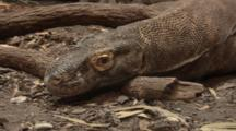 Komodo Dragon (Varanus Komodoensis) Closeup Of Head