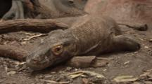 Komodo Dragon (Varanus Komodoensis) Resting In An Enclosure