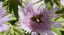 A Skipper Butterfly Feed On Flowers In The Spring