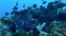 A School Of Blue Tang, Reef Fish, Swarm Over A Reef