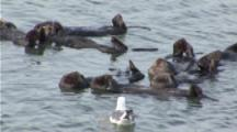 A Sea Otter (Enhydra Lutris) Floating In A Raft