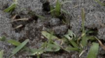 A Fire Ant Mound Is Disturbed And They Swarm Out, Fire Ant Is The Common Name For Several Species Of Ants In The Genus Solenopsis