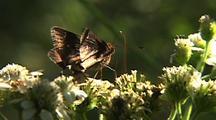 Skipper Butterfly Feeding On Flowers