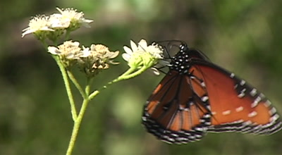 Queen Butterfly Feeding On Food Plant, Longoria Wildlife Refuge