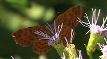 Metalmark Butterfly Feeds On Purple Flowers