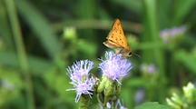 Skipper Butterfly Feeding On Purple Flowers