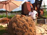Tarpon Springs Florida - Sponge Fisherman Untieing Giant Ball Of Sponge.