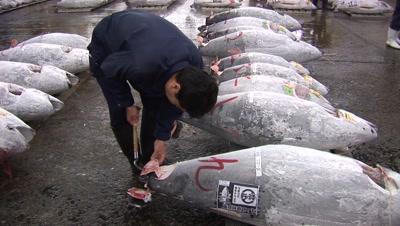 Tsukiji Fish Market, Tokyo - Handheld Shot Of Frozen Tuna Being Inspected On Auction Floor