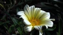 Miyake Jima, Japan - Flower Bliwing In The Wind