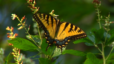 Eastern Tiger Swallowtail Butterfly Feeds On Food Plants, Flies To Next Flower