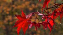 New England, Close Up Of Red Japanese Maple Leaves With Water & Rain Dripping Off Them