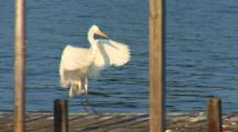 New England, Eastern Great Egret (Ardea Modesta) Landing On Dock Near A River