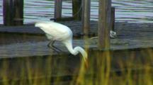 New England, Eastern Great Egret (Ardea Modesta) Fishing On Dock Near A River