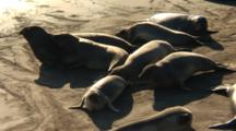 Elephant Seal (Mirounga Angustirostris) Group On Sand In Nice Light, General Movement & Unrest